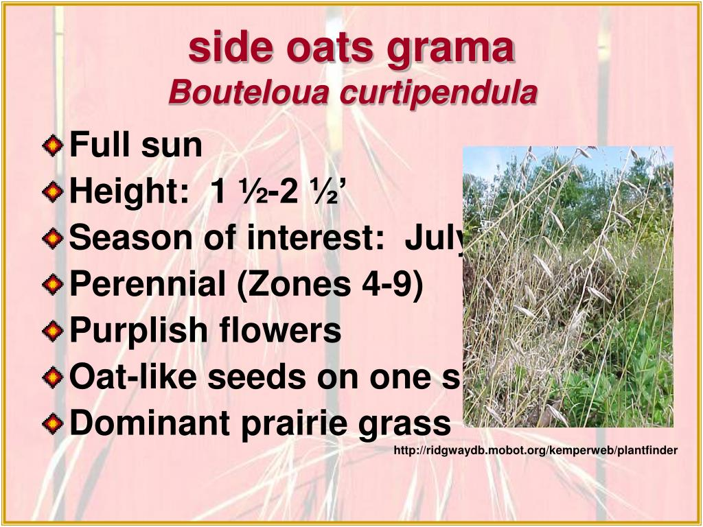 side oats grama