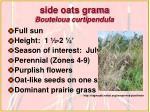 side oats grama bouteloua curtipendula