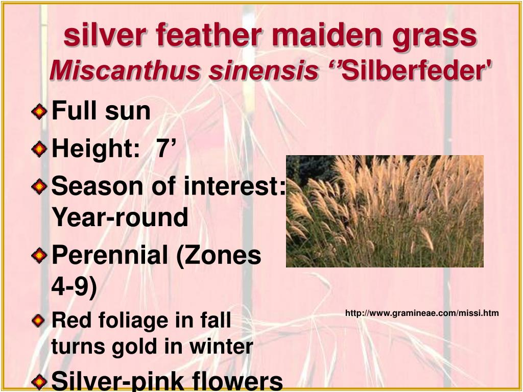 silver feather maiden grass