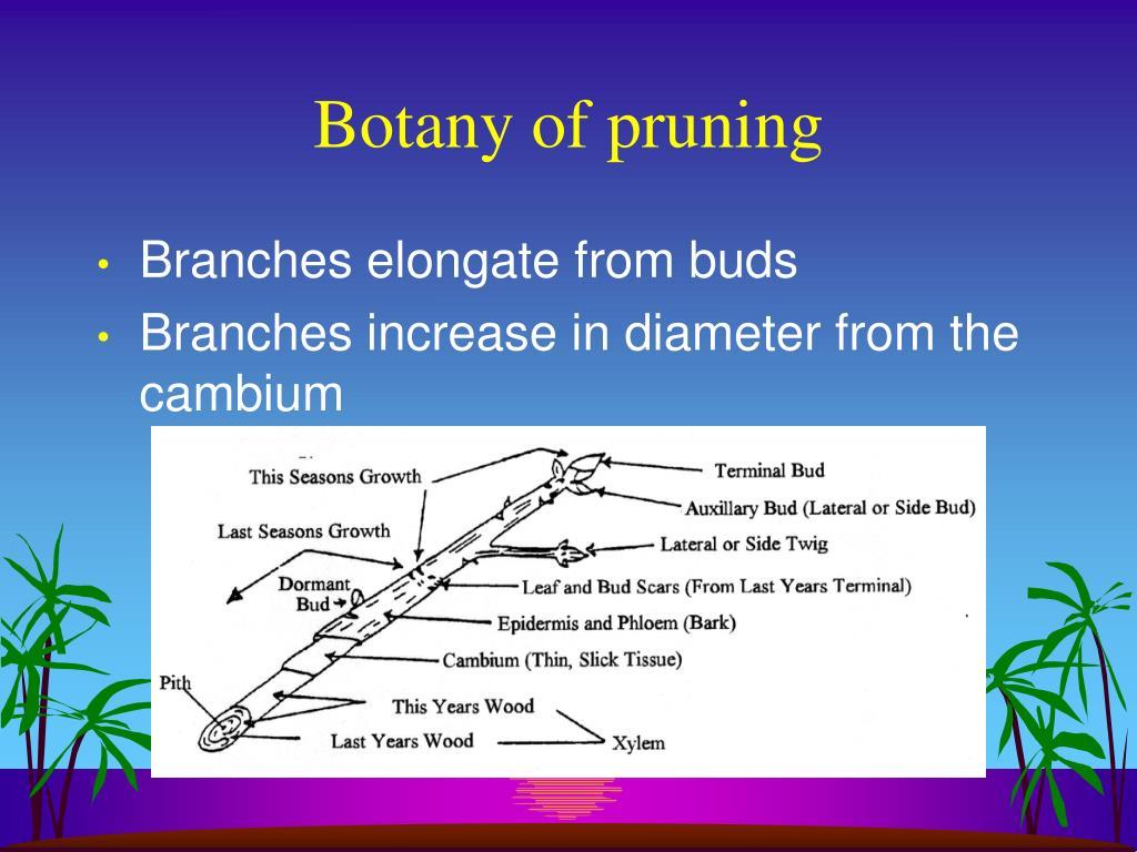 Botany of pruning