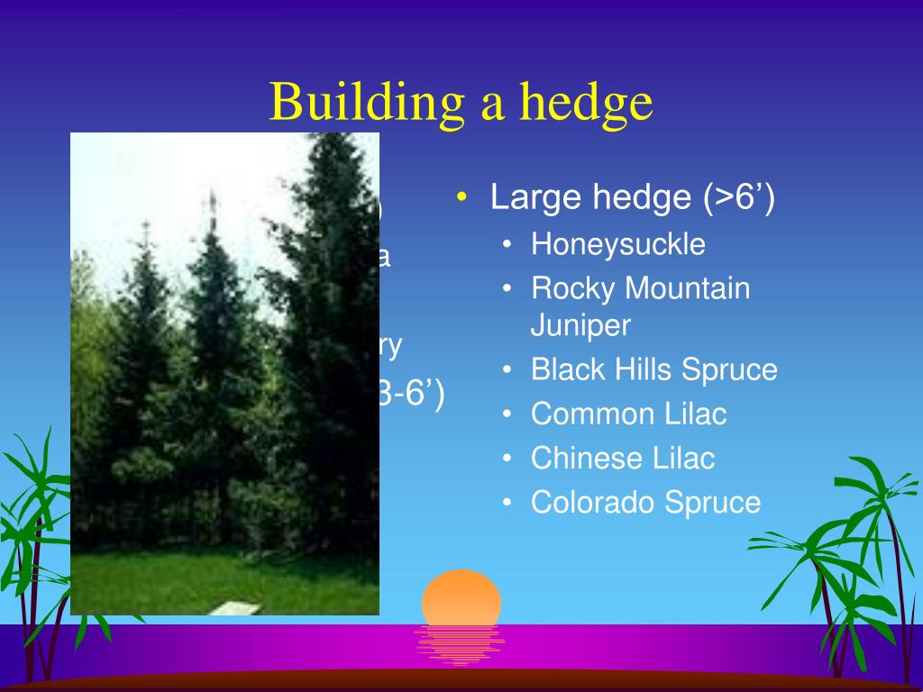 Low hedge (1-3')