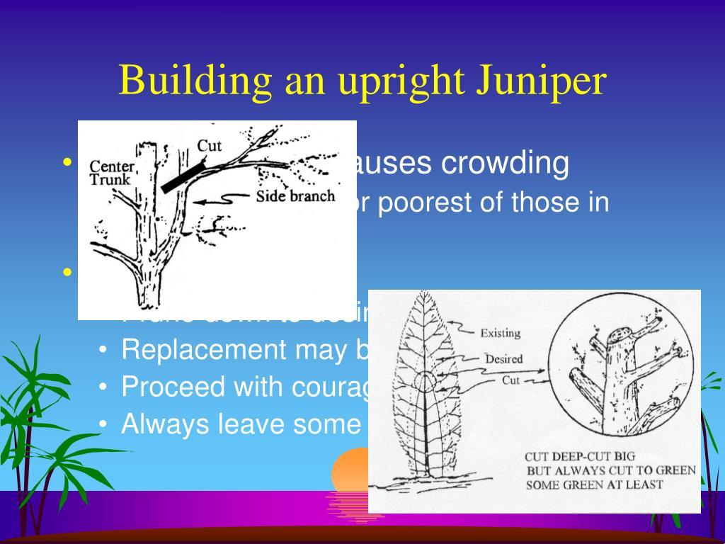 Building an upright Juniper