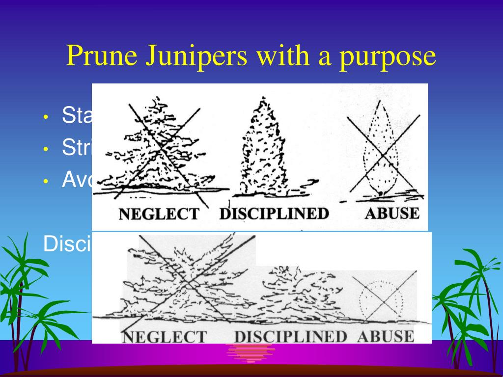 Prune Junipers with a purpose