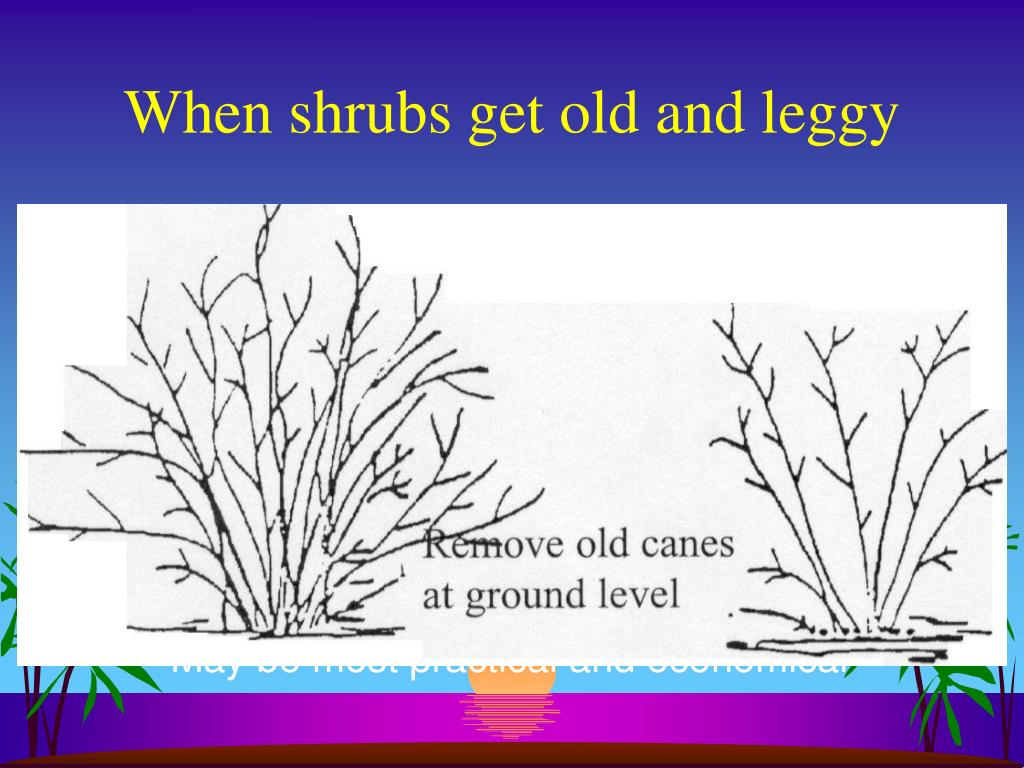 When shrubs get old and leggy