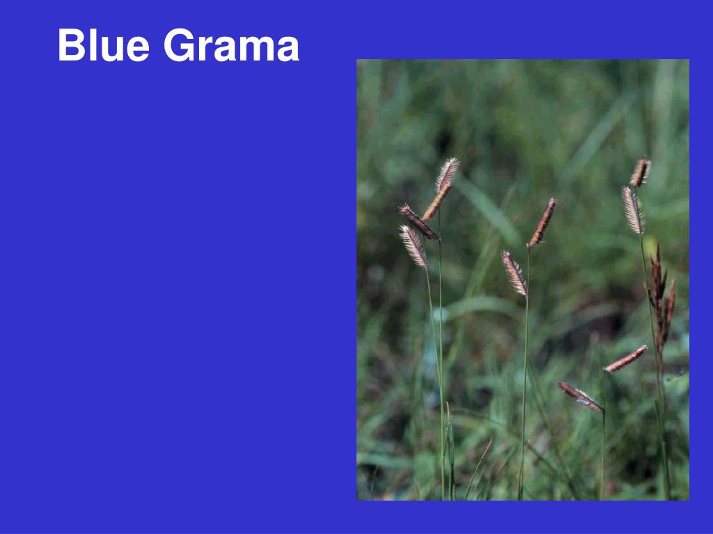 Blue Grama