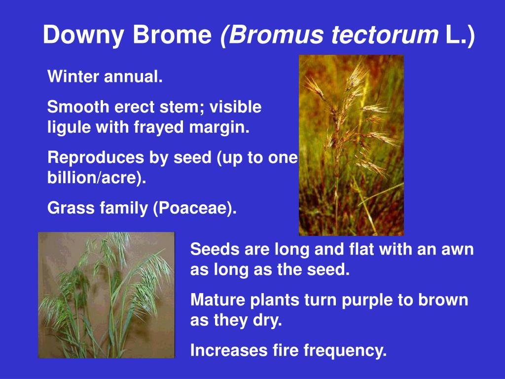 Downy Brome