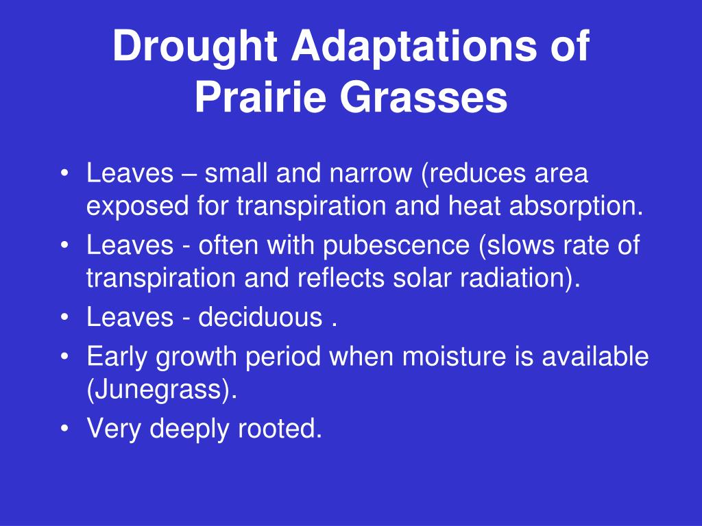 Drought Adaptations of Prairie Grasses