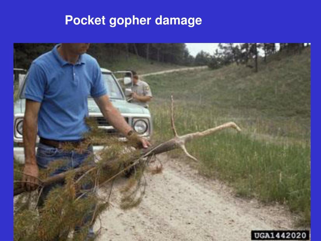 Pocket gopher damage