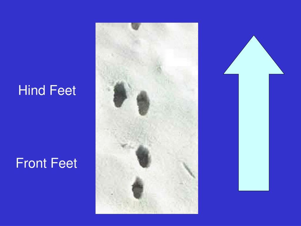 Hind Feet