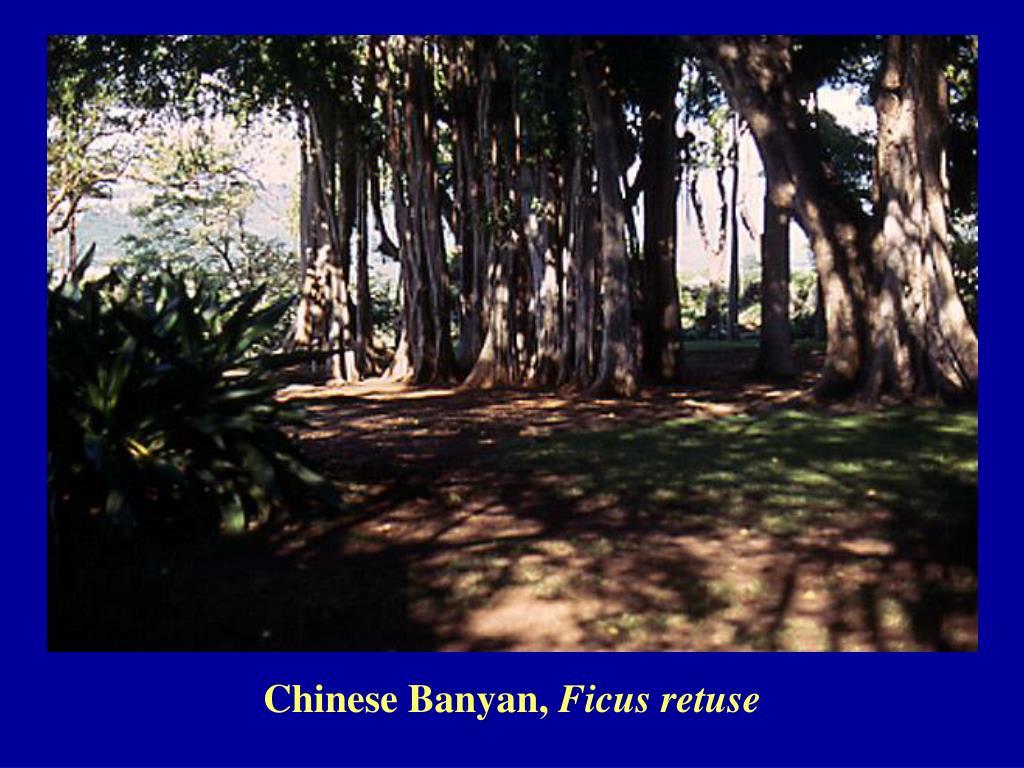 Chinese Banyan,