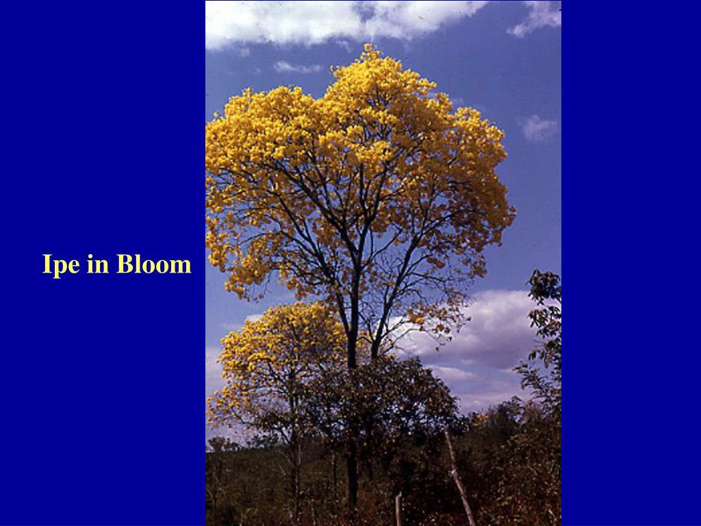 Ipe in Bloom