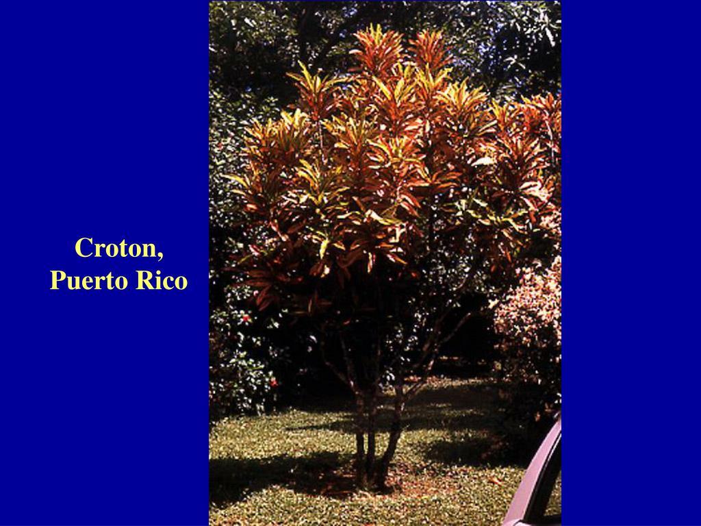 Croton, Puerto Rico
