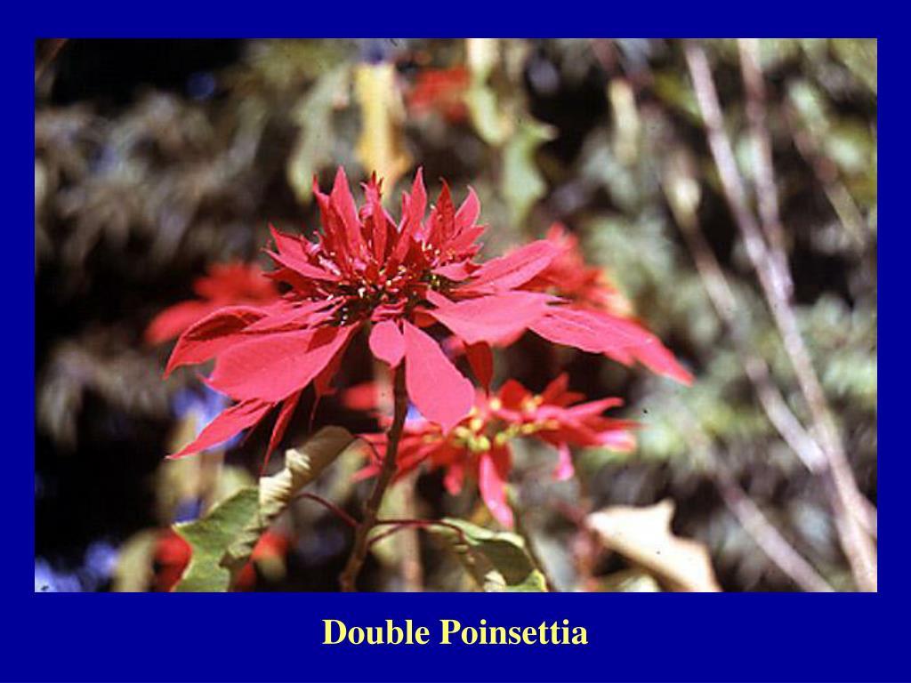 Double Poinsettia