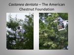 castanea dentata the american chestnut foundation