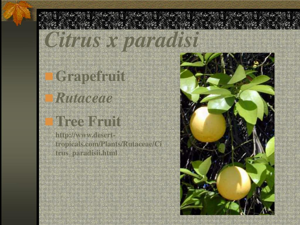 Citrus x paradisi