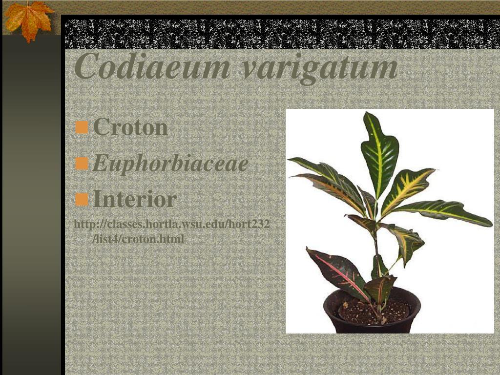 Codiaeum varigatum