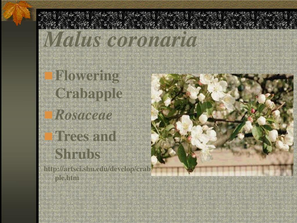 Malus coronaria