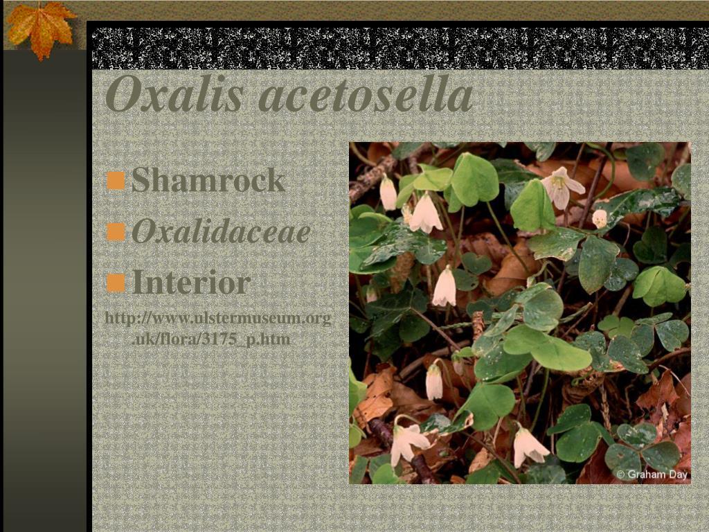 Oxalis acetosella