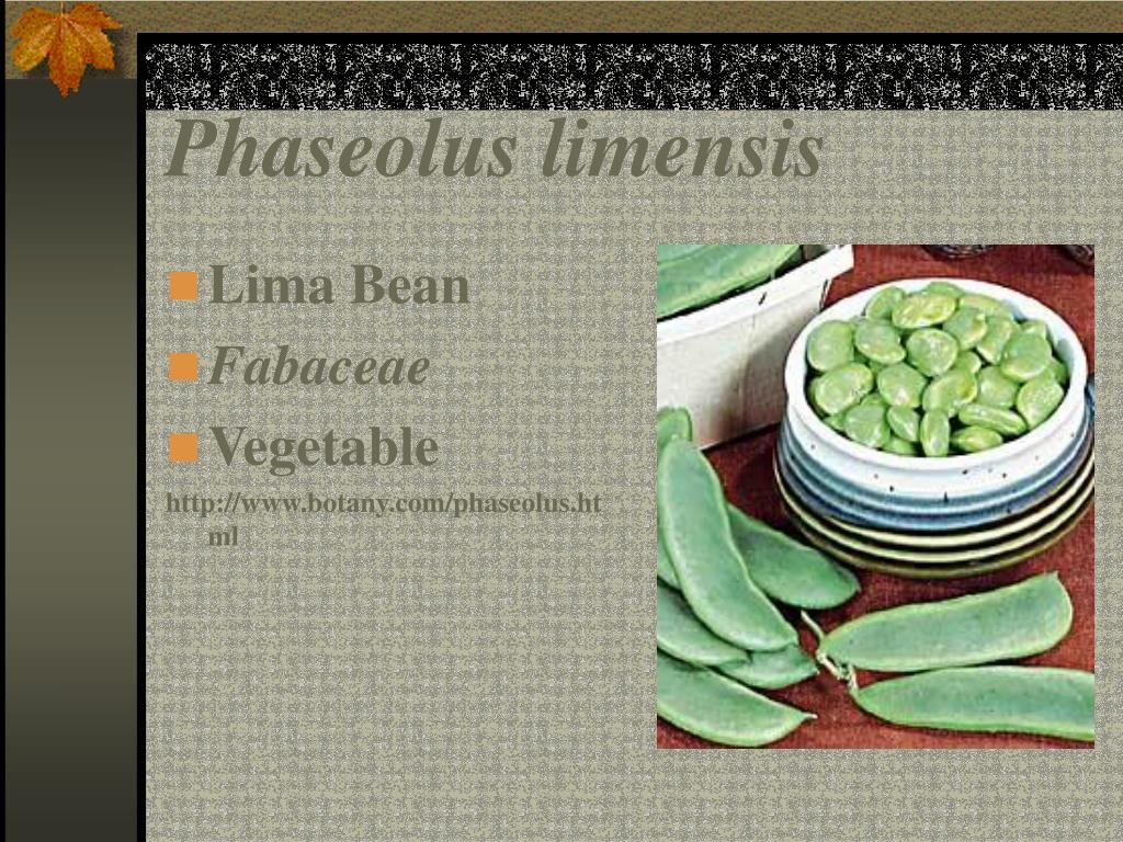 Phaseolus limensis