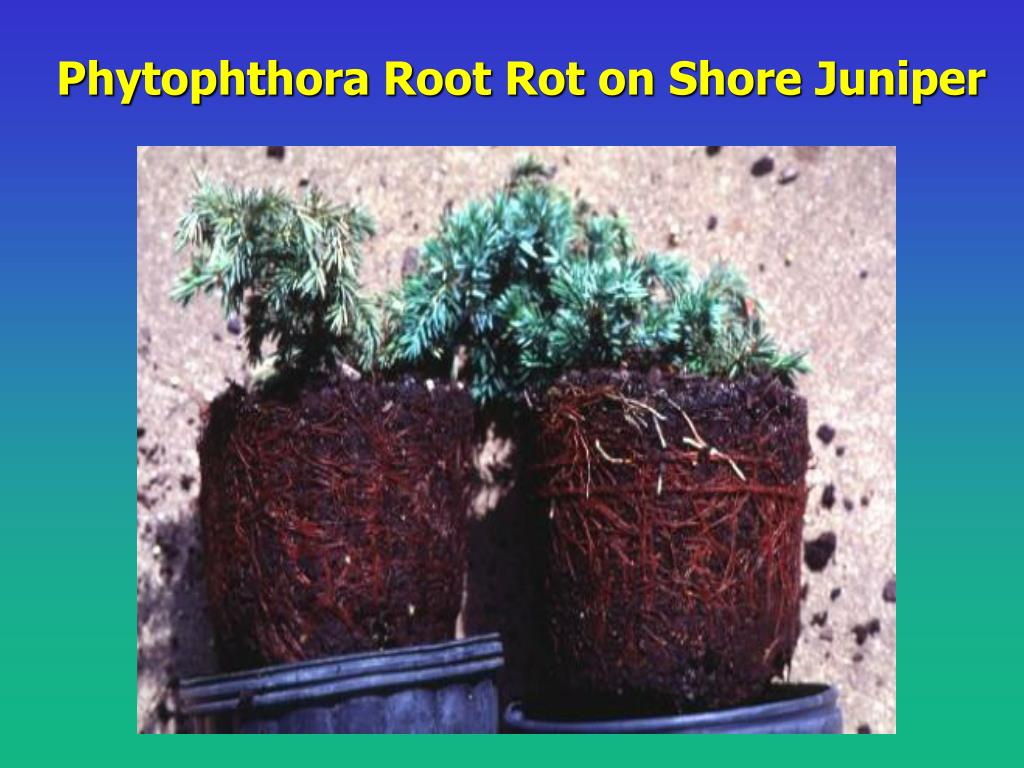 Phytophthora Root Rot on Shore Juniper