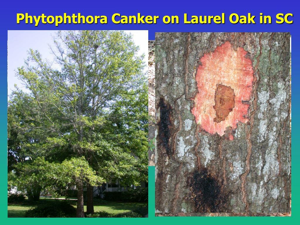 Phytophthora Canker on Laurel Oak in SC