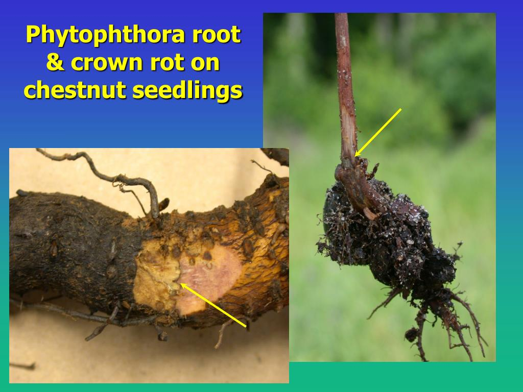 Phytophthora root & crown rot on chestnut seedlings