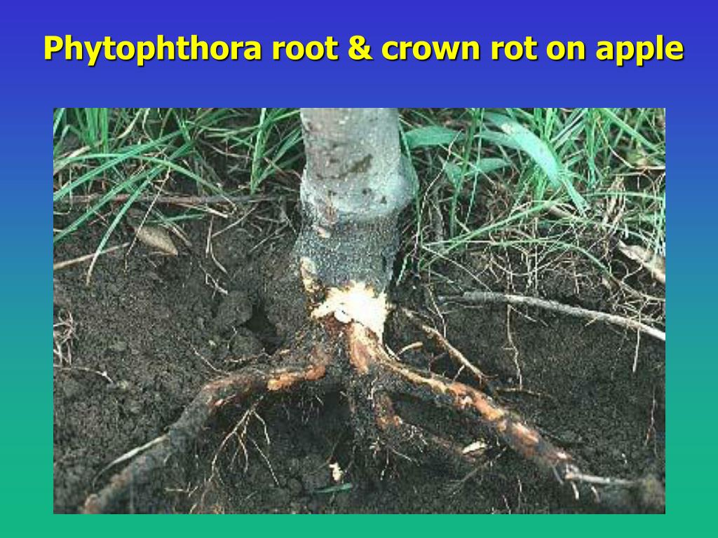 Phytophthora root & crown rot on apple