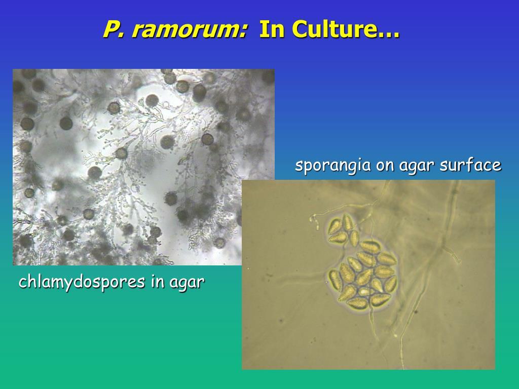 P. ramorum: