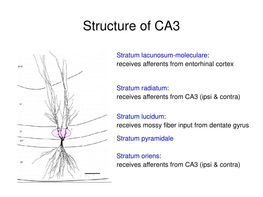 Structure of CA3