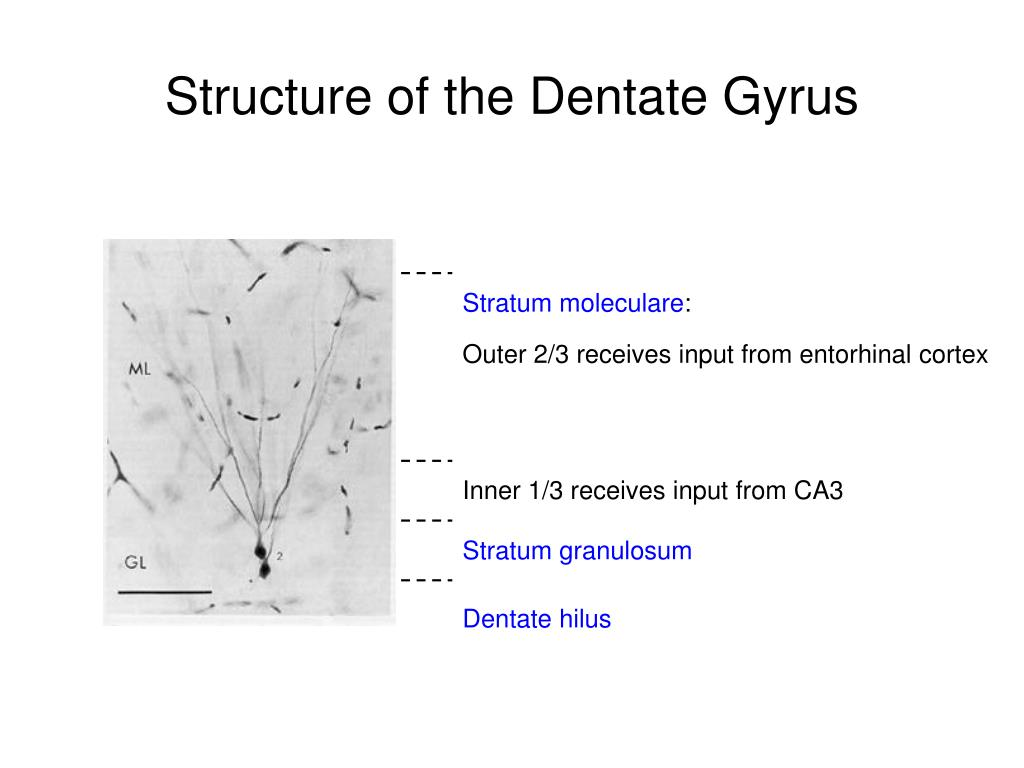 Structure of the Dentate Gyrus