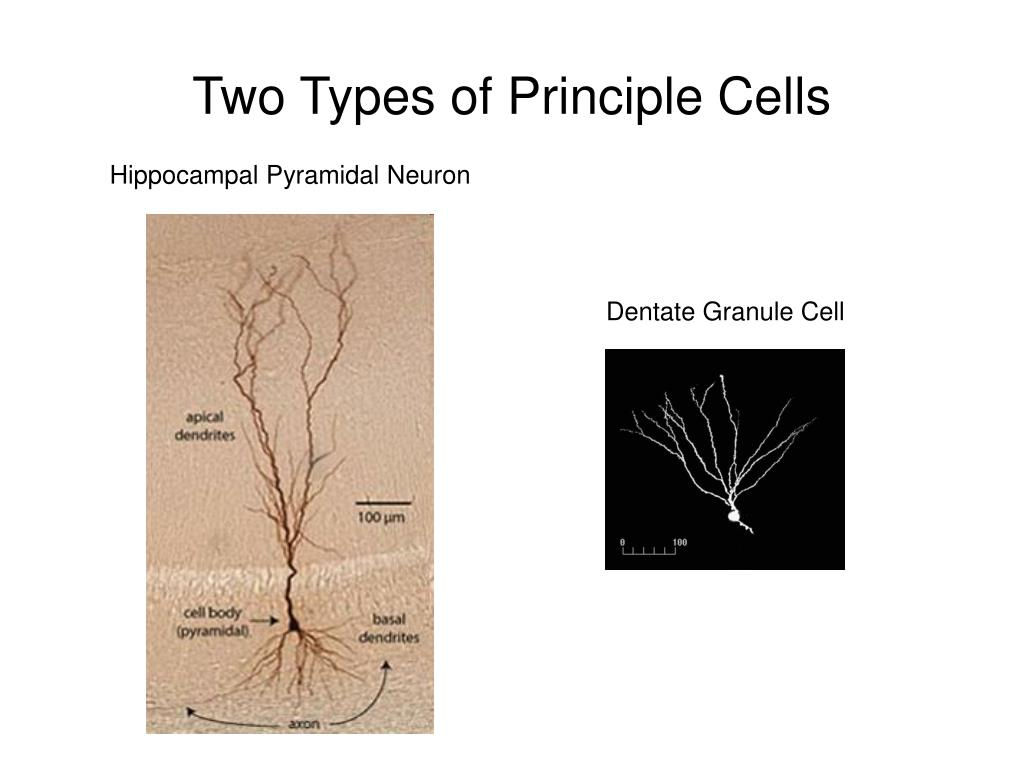 Two Types of Principle Cells