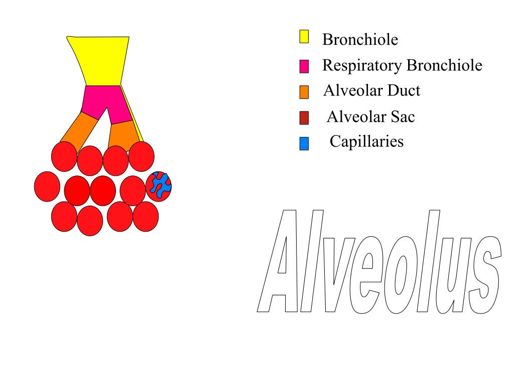 Alveolus