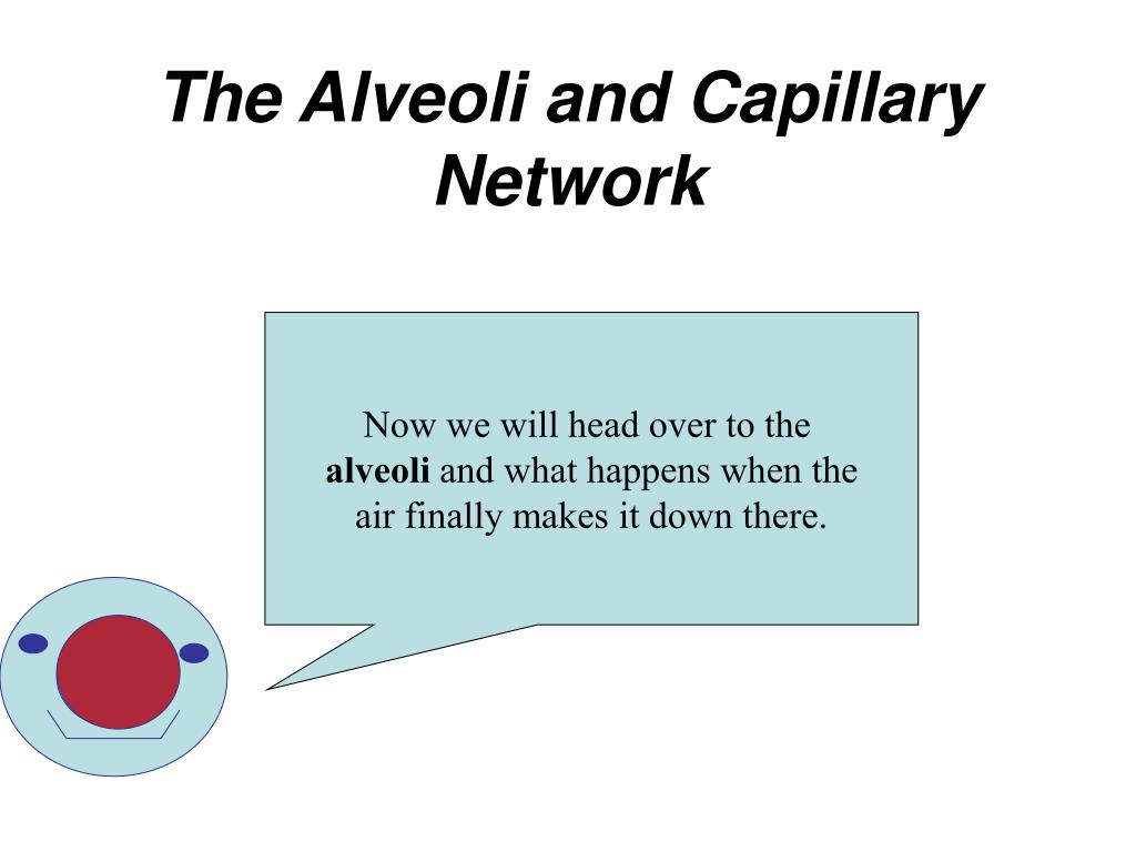 The Alveoli and Capillary Network