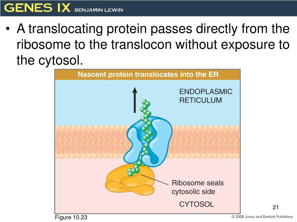 A translocating protein passes directly from the ribosome to the translocon without exposure to the cytosol.