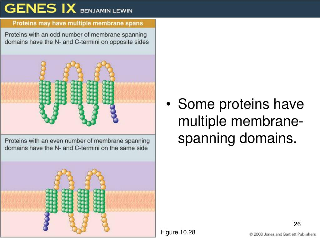 Some proteins have multiple membrane-spanning domains.