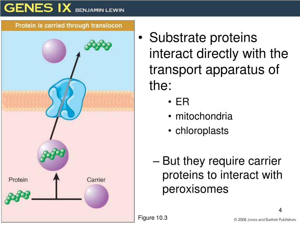 Substrate proteins interact directly with the transport apparatus of the: