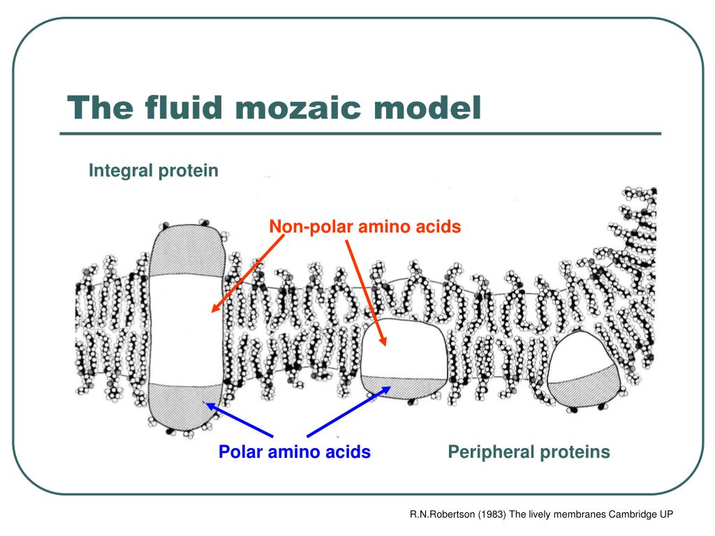 The fluid mozaic model