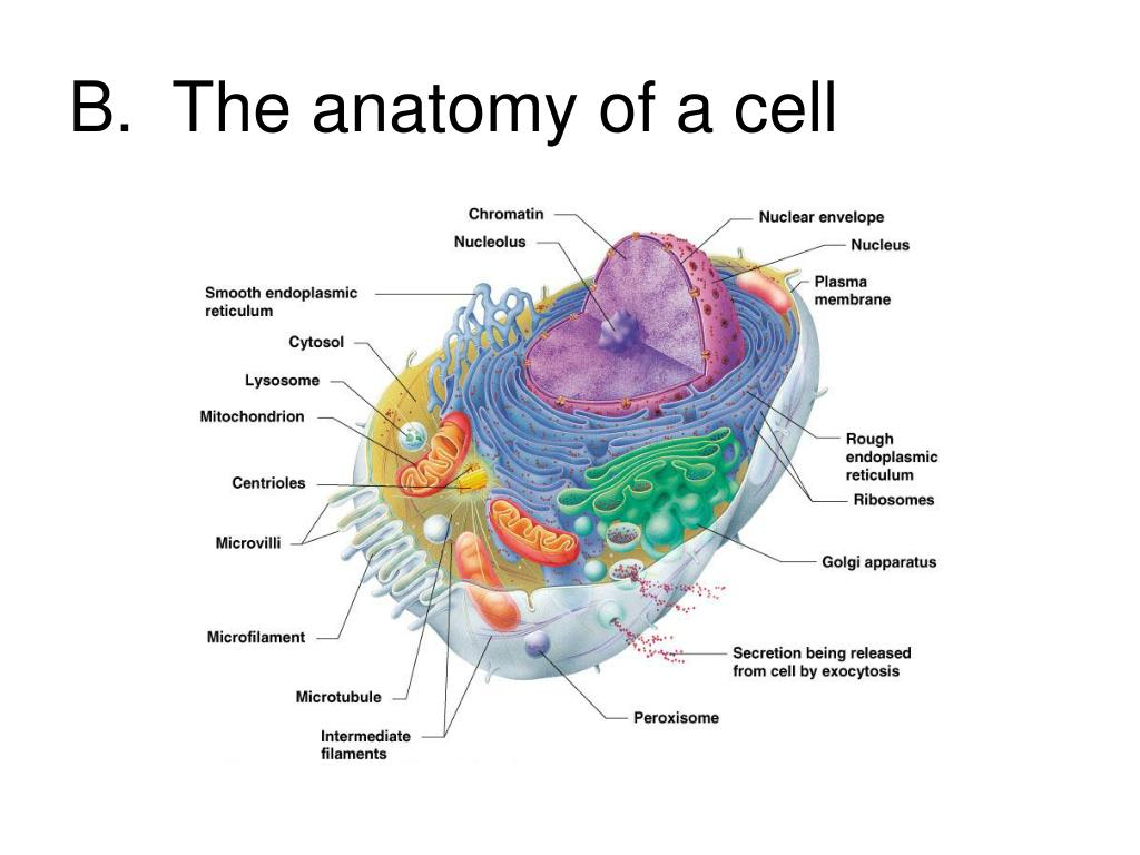 B.  The anatomy of a cell