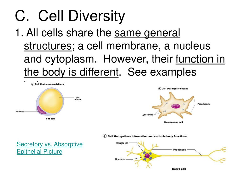 C.  Cell Diversity