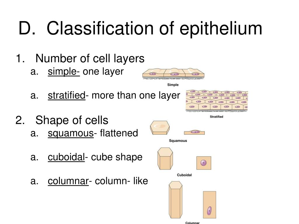 D.  Classification of epithelium