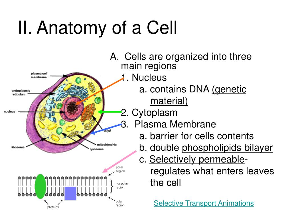 II. Anatomy of a Cell