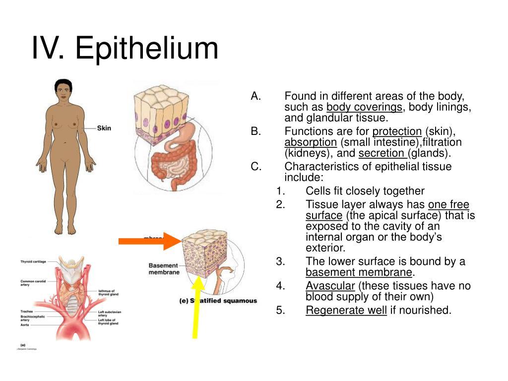 IV. Epithelium