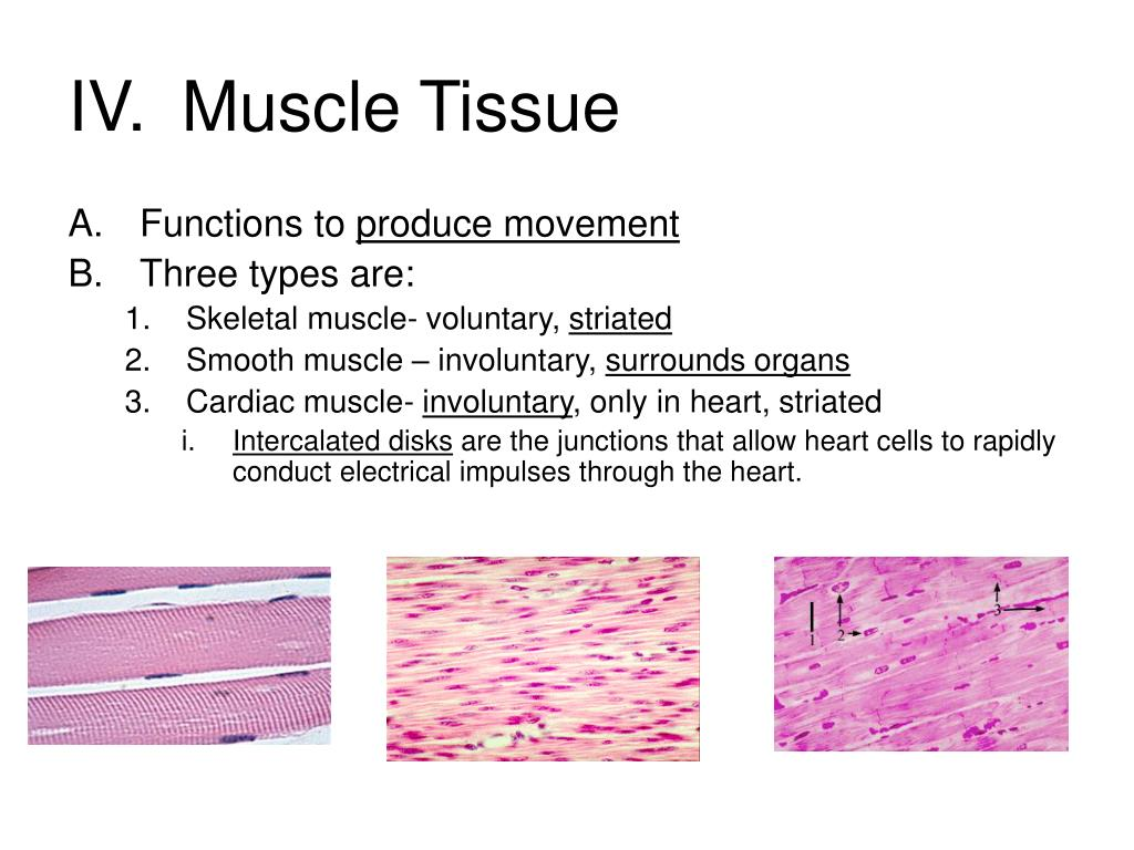 IV.	Muscle Tissue