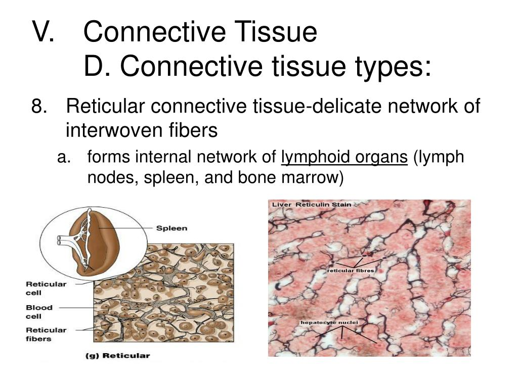 V.	Connective Tissue