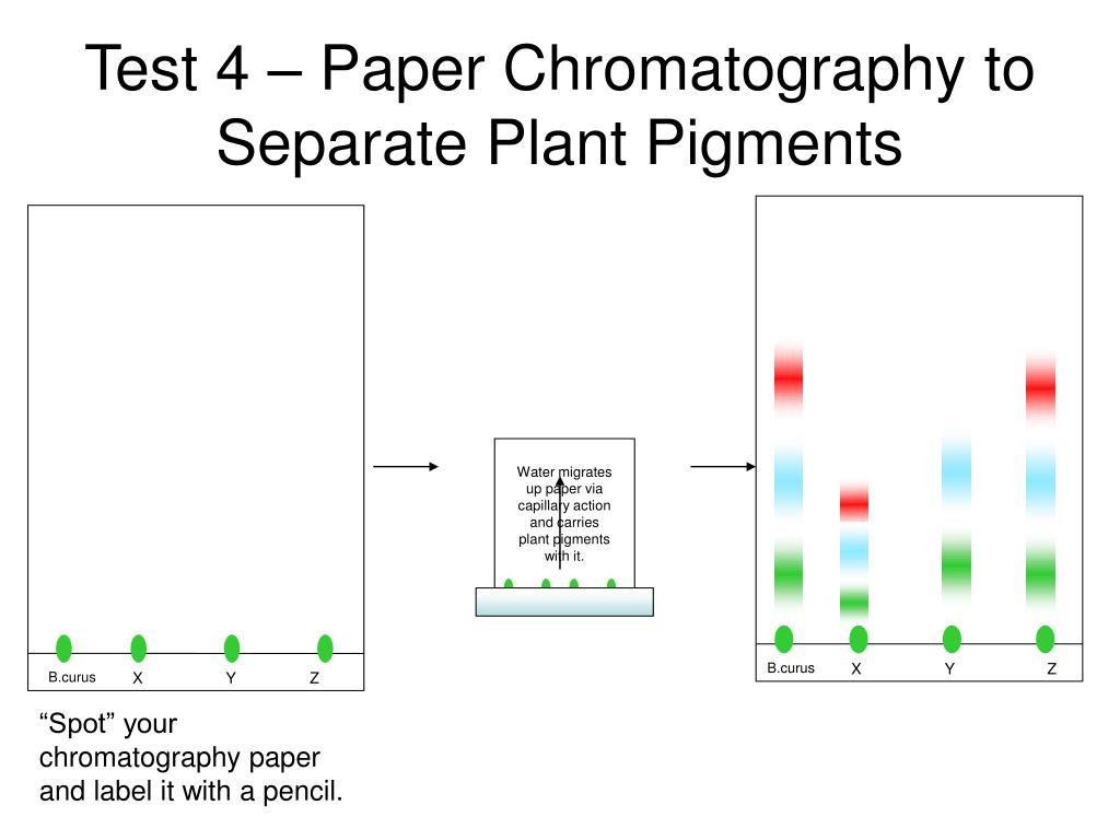 Test 4 – Paper Chromatography to Separate Plant Pigments
