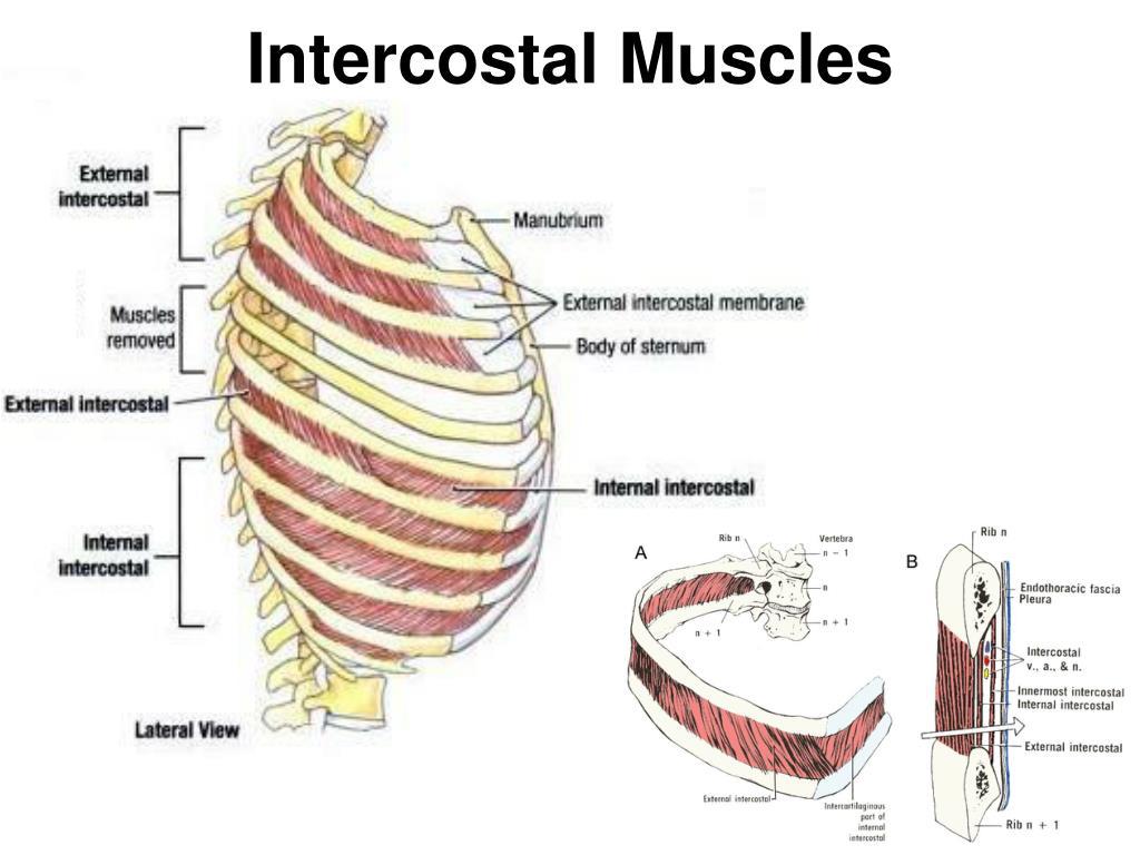 Intercostal Muscle Strain Lovemaking Porn