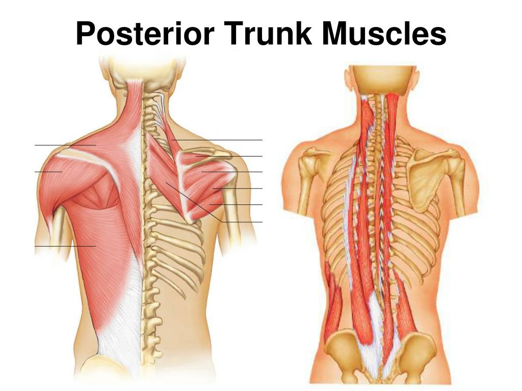 PPT - Human Muscle Images Head, Neck, & Trunk pp. 200-203 ...