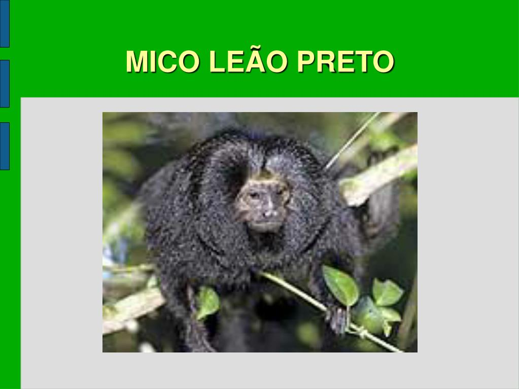 MICO LEÃO PRETO