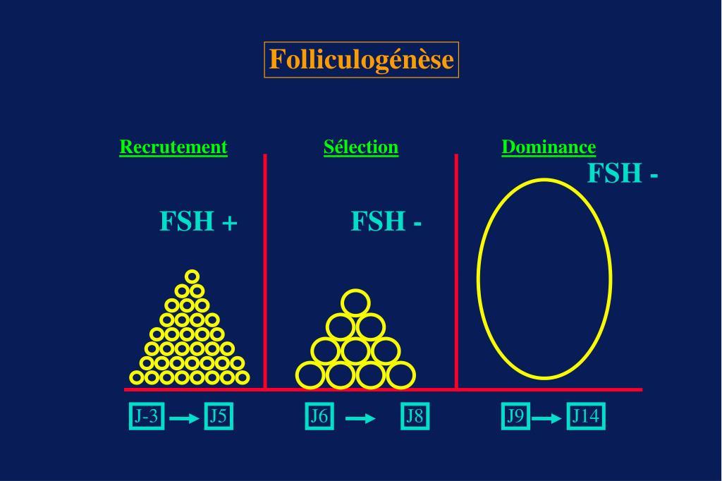 Folliculogénèse