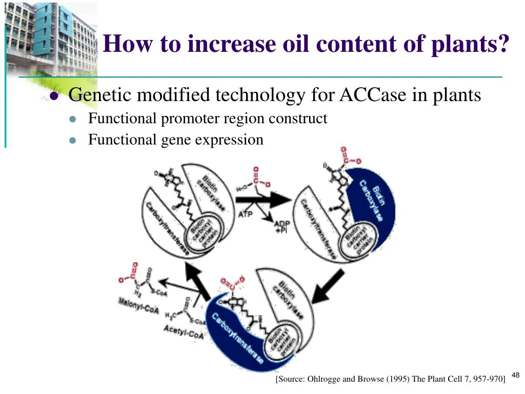 How to increase oil content of plants?